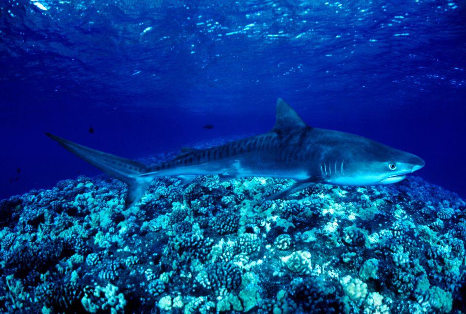 Closeup of a Tiger Shark