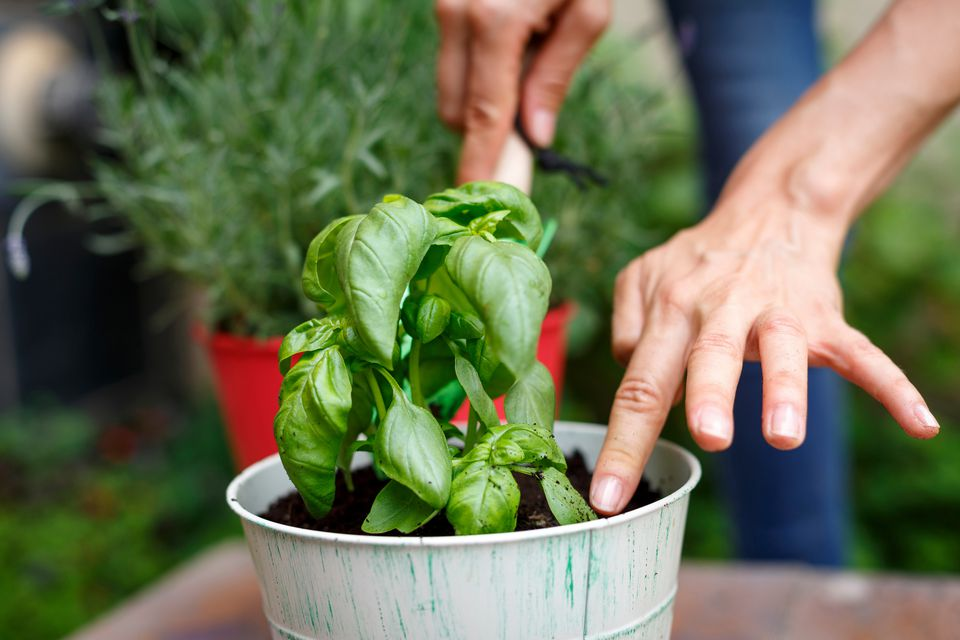 Cropped view of hands planting basil in plantpot
