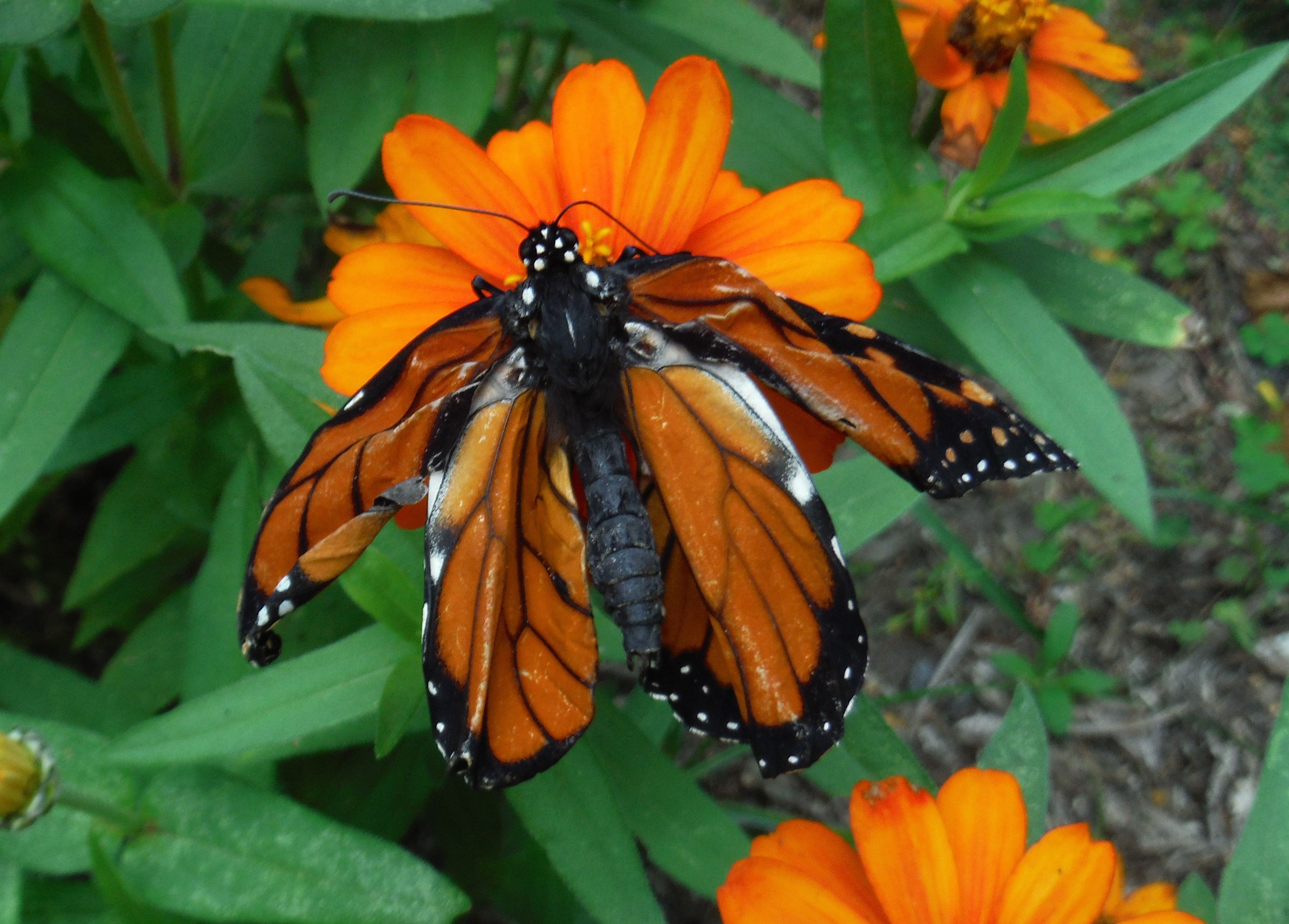 why does this monarch butterfly have crumpled wings