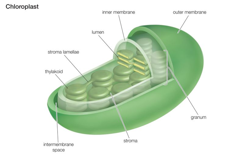 Cross-section of a Chloroplast