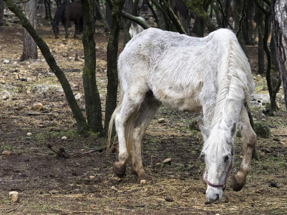 Horses raised outdoors and at liberty in a Mediterranean forest