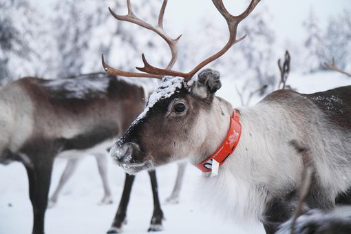 reindeer christmas