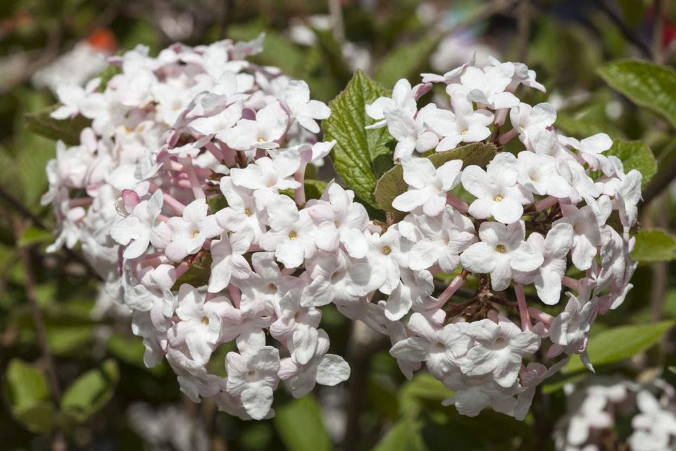 10 best shrubs with white flowers closeup of two flower clusters from a korean spice viburnum bush mightylinksfo Images