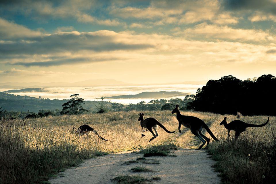Kangaroos crossing a dirt road in Australia.