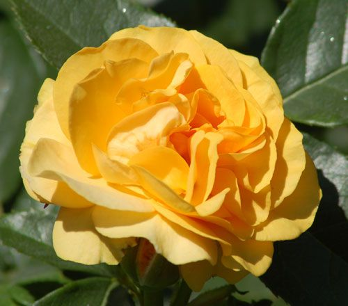 "Yellow rose picture. ""Julia Child"" is a yellow rose of the floribunda variety."