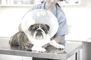 Veterinarian with bulldog wearing a cone