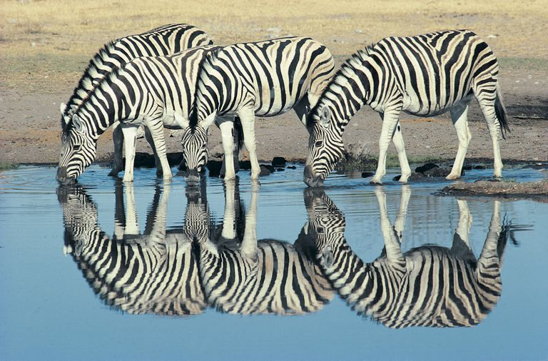 Zebra stripes are a product of evolution