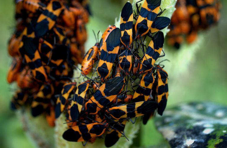 Large milkweed bugs.