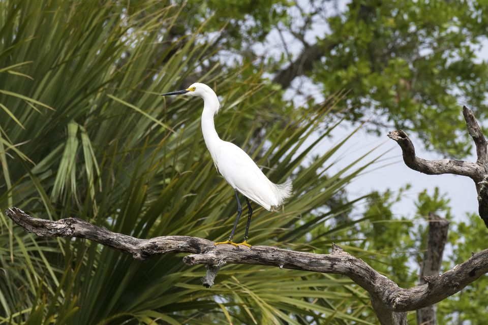 Snowy Egret Perched on a Tree