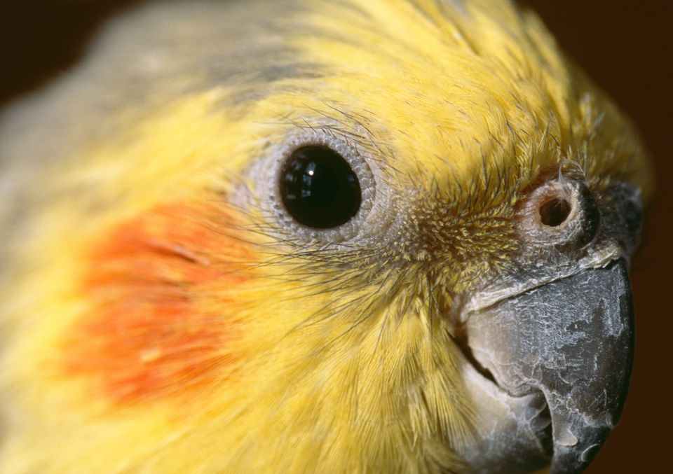 Cockatiels Are Wonderful Birds!