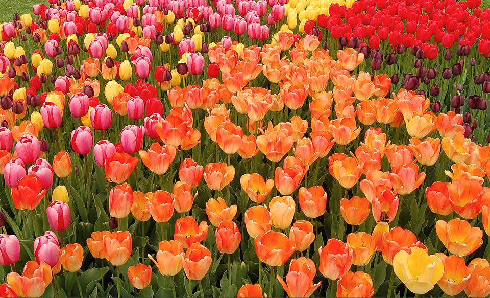 Colorful tulips at Albany Tulip Festival