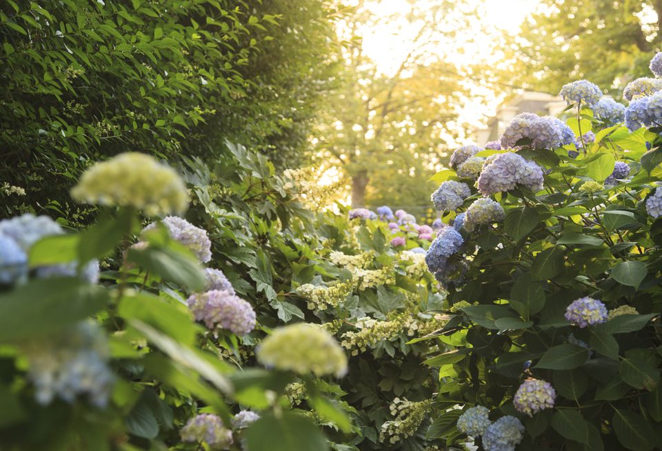 Tall hydrangeas in a garden