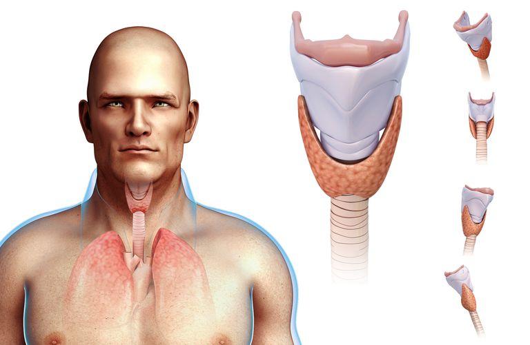 Illustration of thyroid gland in a man