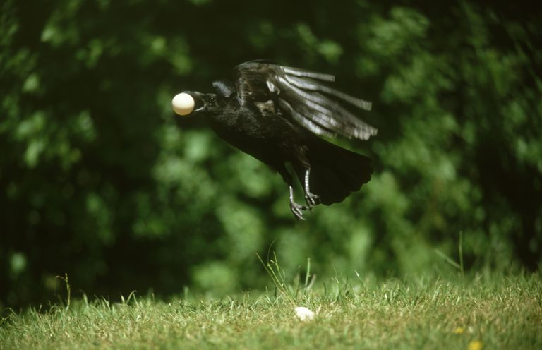 Crows will steal eggs, food, and trinkets if they are left unguarded.