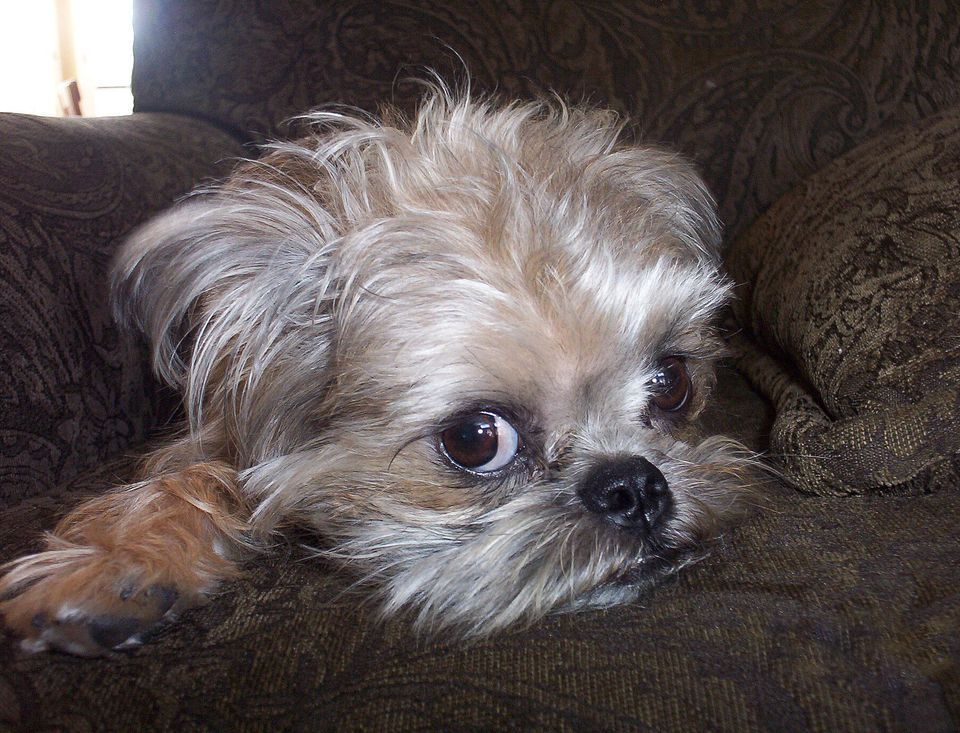 Brussels Griffon Dog Breed Photo - Picture of Brussels Griffon Dog