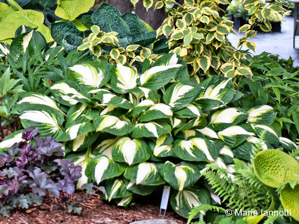 Hosta with Bold Leaves