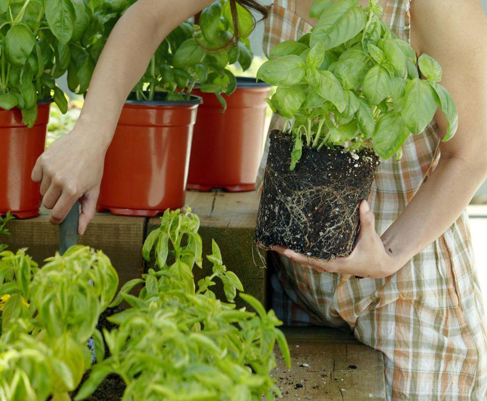 Taiwanese woman plants Basil in garden