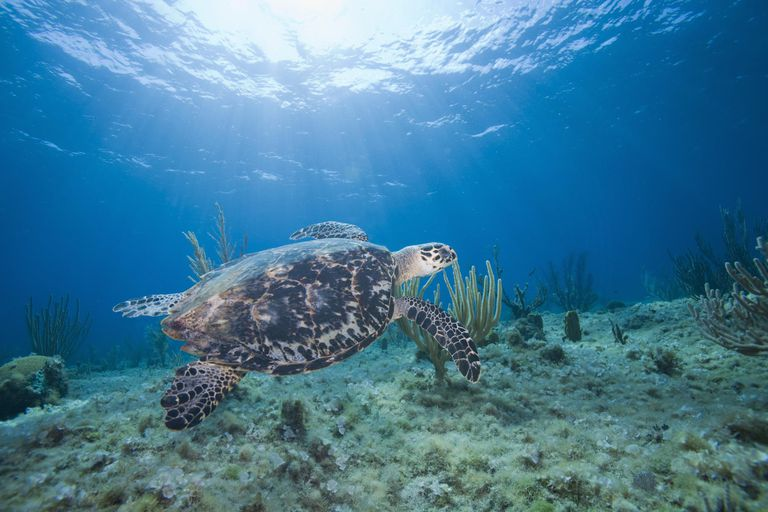 Hawksbill Turtle (Eretmochelys imbricata) swimming above coral reef, underwater view