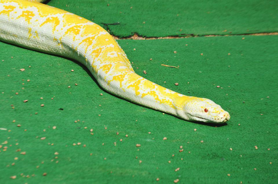 High Angle View Of Burmese Python On Green Carpet