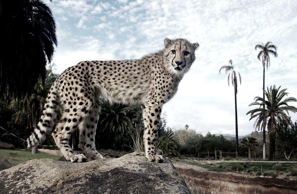 USA: Travel: Ruux the Cheetah at the San Diego Safari Park