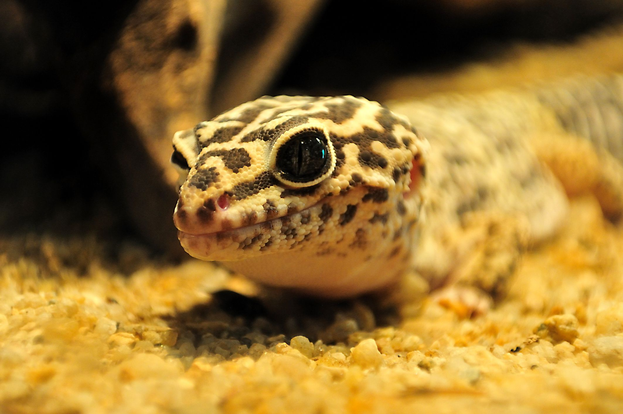 Leopard gecko armpits fat leopard geckos what kind of bedding should you use for your leopard gecko nvjuhfo Images