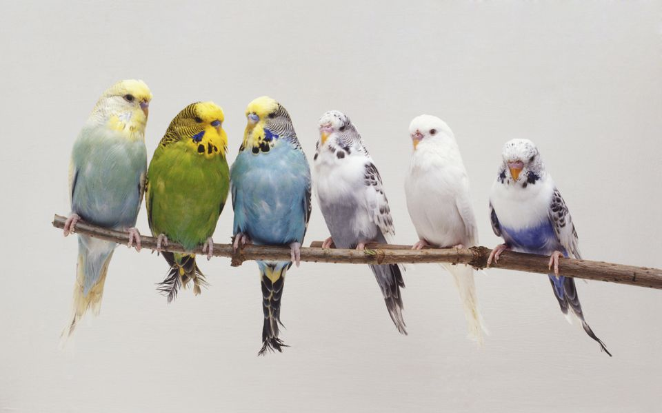 Six Budgerigars (Melopsittacus undulatus) perching side by side on a twig, front view