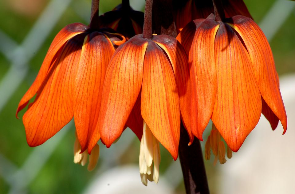 Fritillaria (image) isn't common. But this spring-flowering bulb is spectacular.