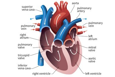 Anatomy of the heart diagram view how ventricles keep your heart pumping ccuart Images