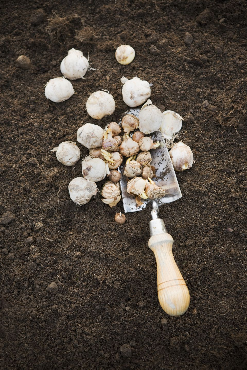 High angle view of garden spade with bulbs