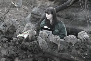 LONDON, ENGLAND - JANUARY 02: A keeper records the number of meerkats during ZSL London Zoo's annual stocktake of animals on January 2, 2014 in London, England. The zoo's annual stocktake req