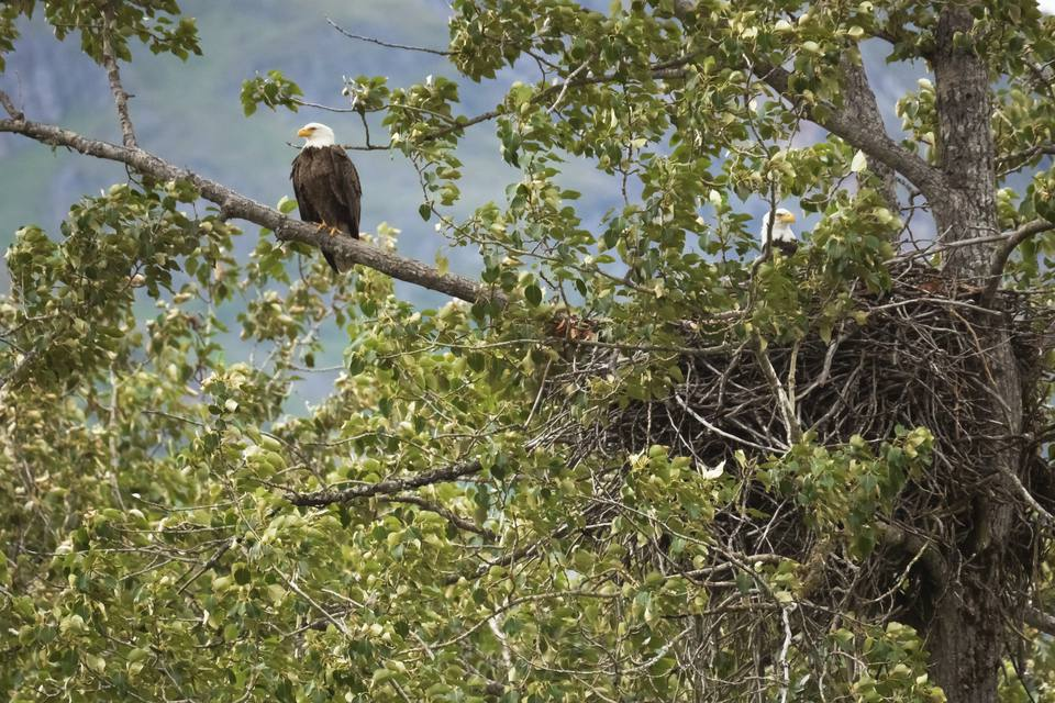 Bald Eagle Pair and Nest - Upper Chilkat River 012