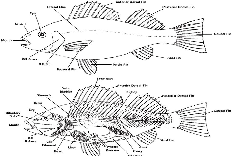Famous Fish Anatomy And Physiology Frieze - Human Anatomy Images ...
