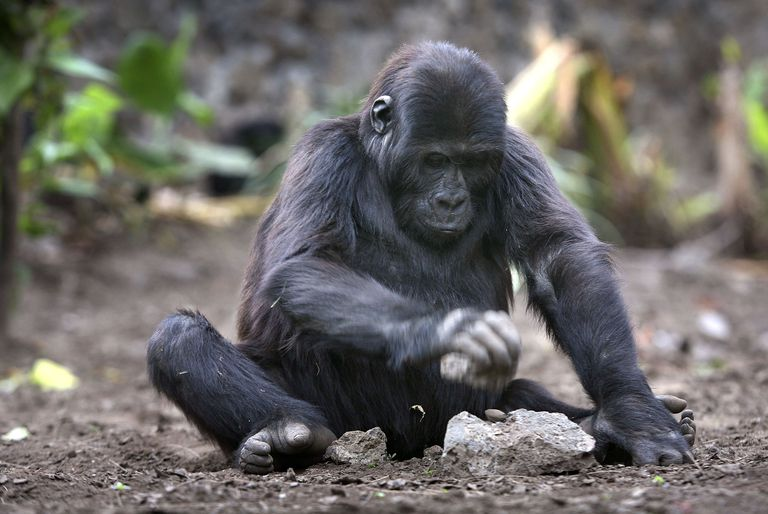 Lowland gorilla orphan at Dian Fossey Center, 2006