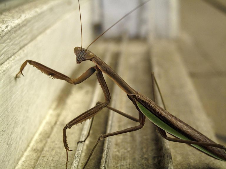 Praying mantis standing on a patio door sill