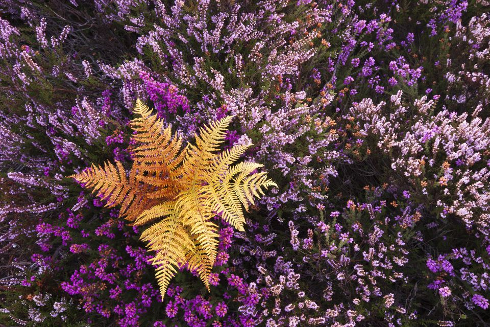 Heather in mixed colors surrounding a golden fern.