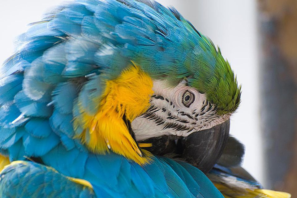 A blue parrot cleans it's feathers. Focus is on the parrots eye with a shallow depth of field.