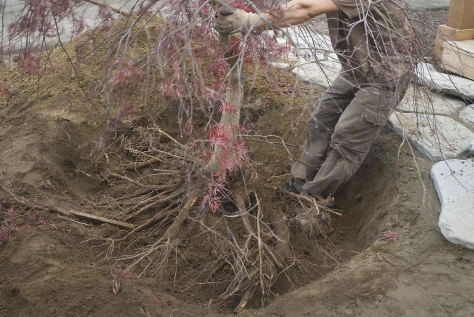 Man relocates Japanese Maple (Acer palmatum)