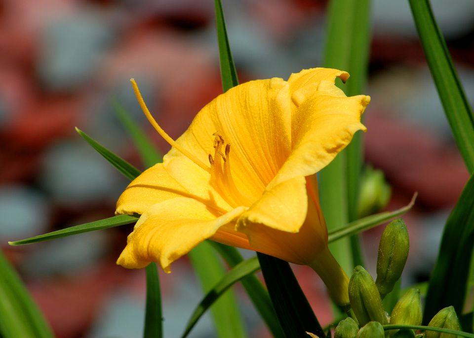 Stella de Oro (image) daylily is popular. Some think it's overused.
