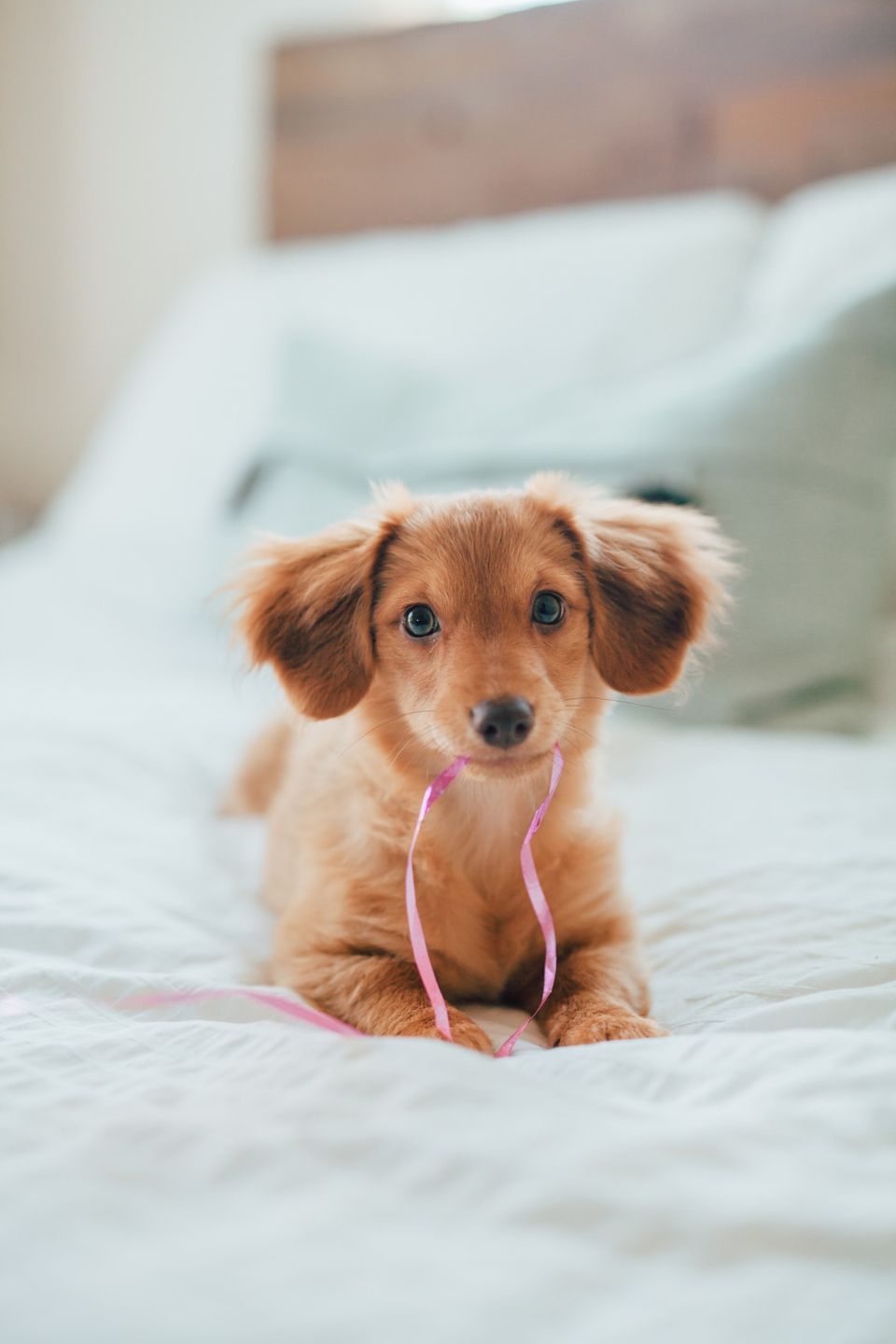 puppy chewing on string