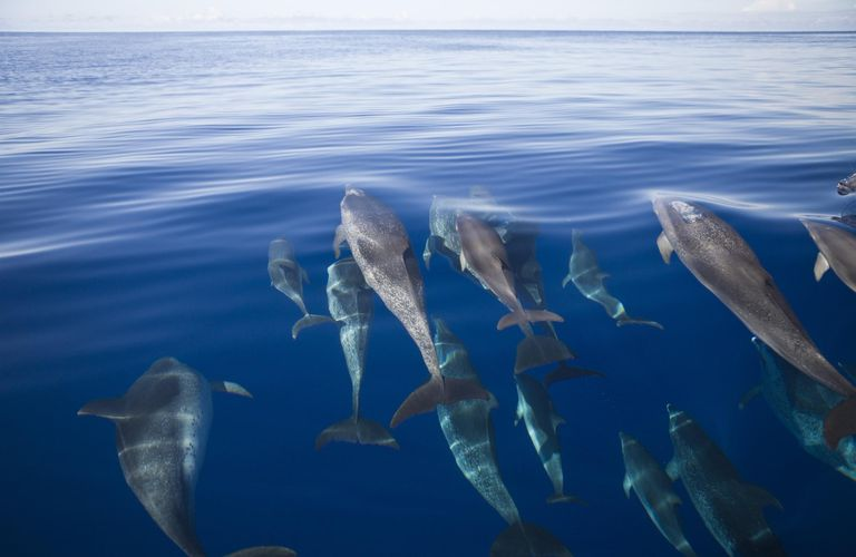 Atlantic Spotted Dolphins, Stenella