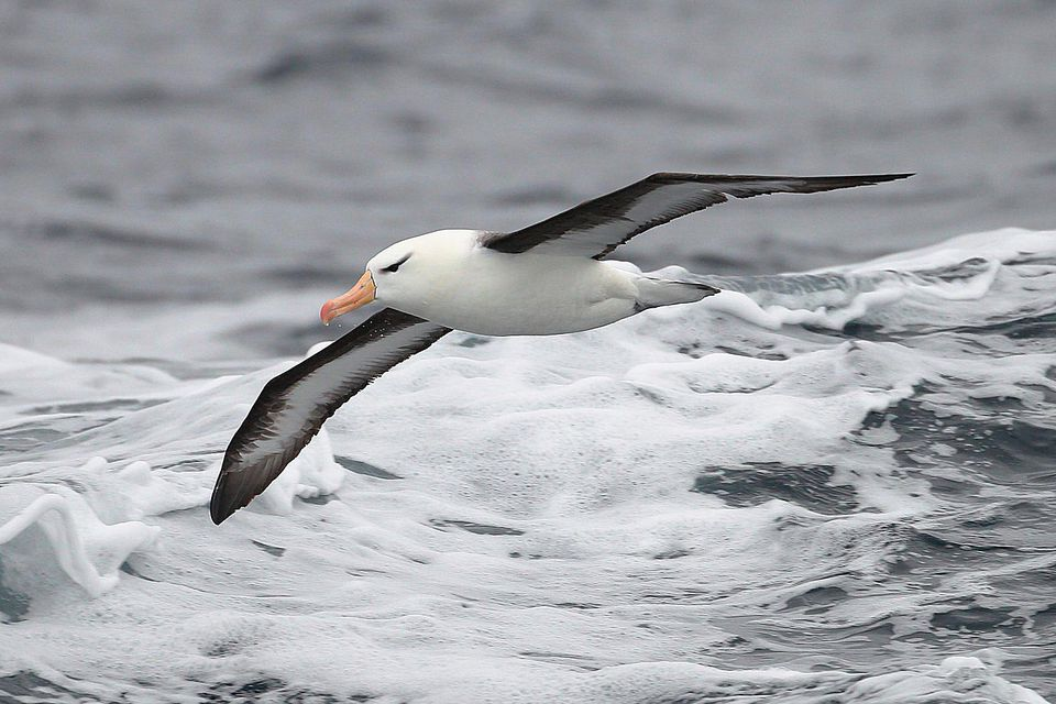Pelagic Definition Pelagic Birds