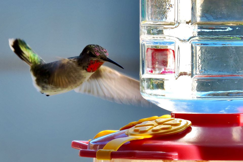 Hummingbird at Feeder