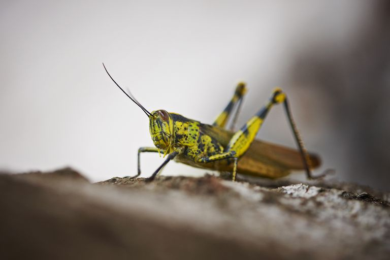 Grasshoppers are an example of r-selected animals.