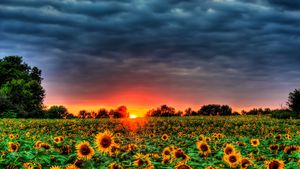 The sun setting on a field of sunflowers