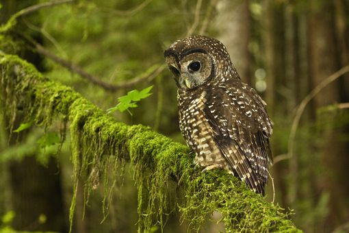Northern Spotted Owl, Coast Range, Oregon.