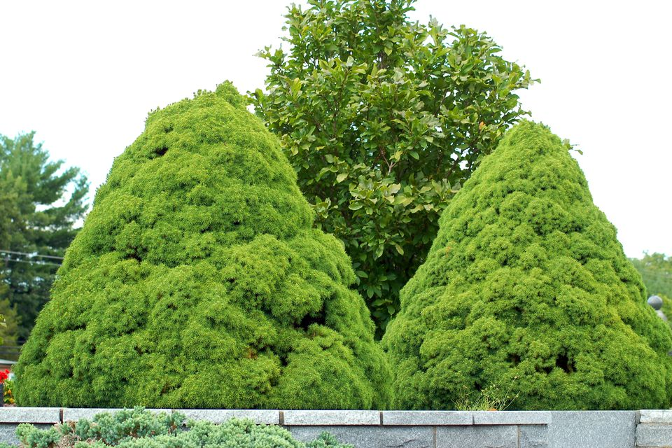 Image: pair of dwarf Alberta spruce.