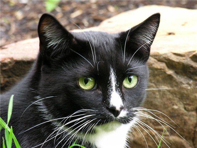 Picture of tuxedo cat Tuck
