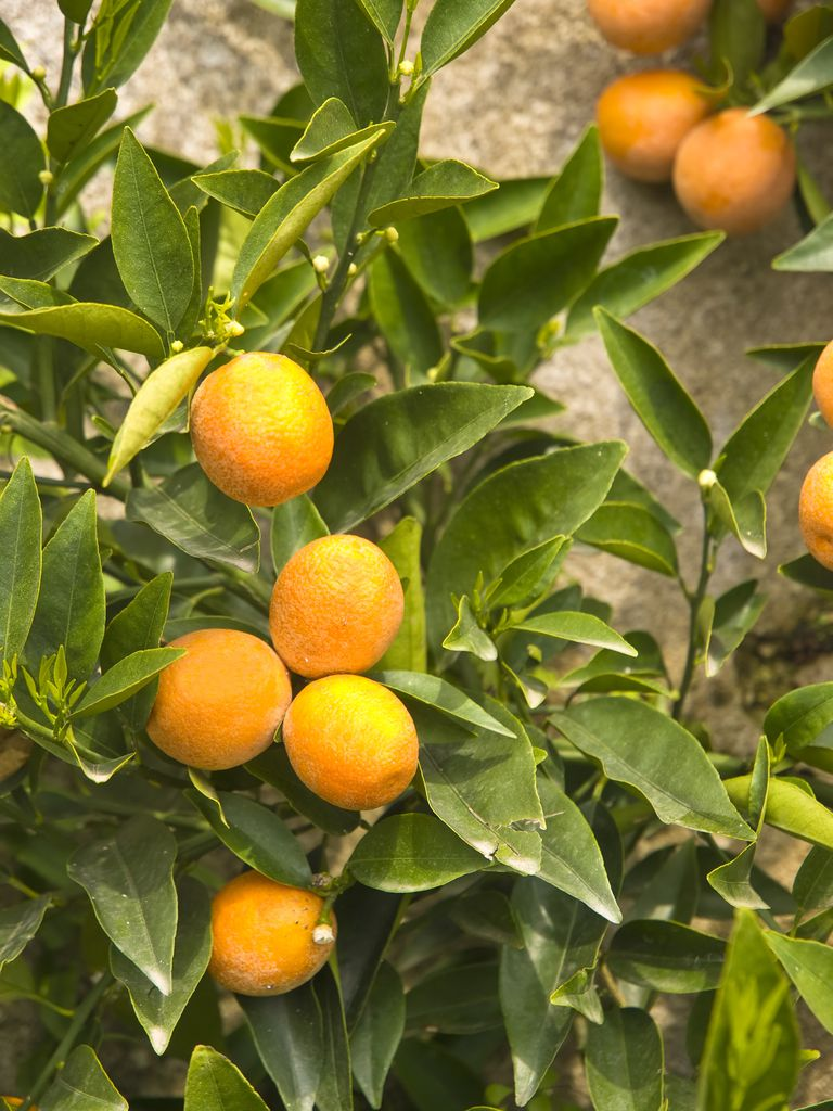 Where Does the Perfume Ingredient Bergamot Come From