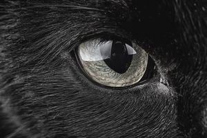 Eye of black cat