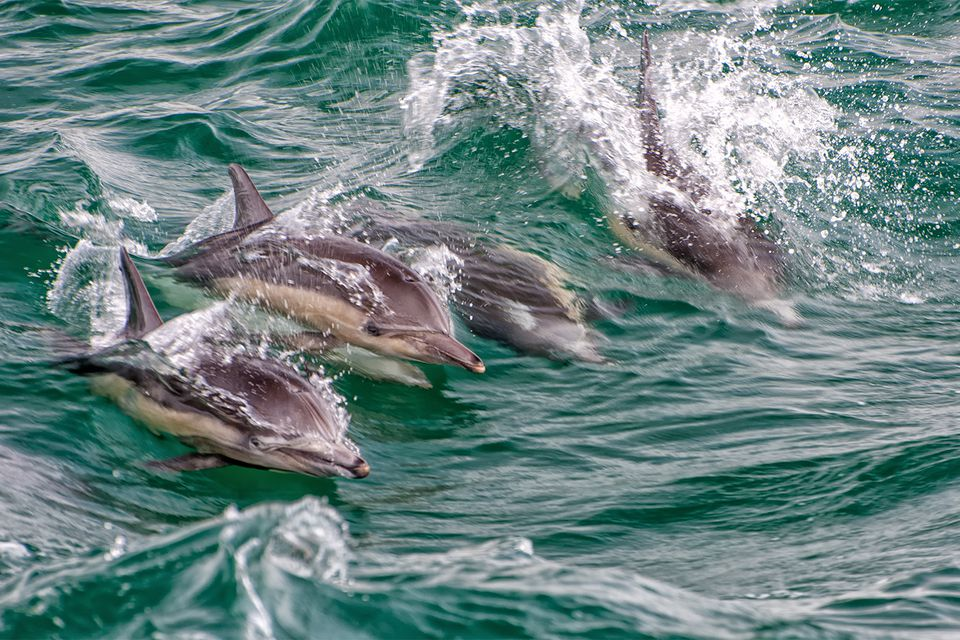 Dolphins at Dana Point